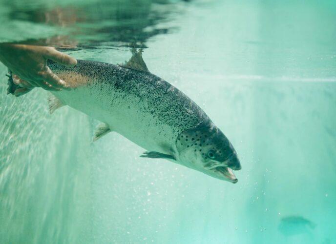 USA Raised Salmon
